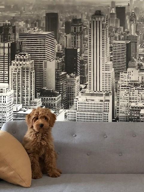 Australian Labradoodle Bobby op grijze bank retro juten kussen New York studio Soho en Manhattan